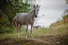 Schönes weißes Pferd lizenzfreie stockbilder