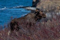 Schäbige schauende Stierelche, die einen rauen kanadischen Winter überleben stockbilder