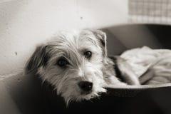 Schäbiger Hund in einer Feder Lizenzfreie Stockfotografie
