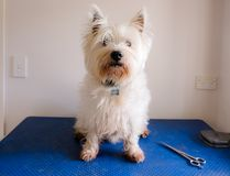 Schäbiger schmutziger Hund westie weißer Terrier des Westhochlands auf dem Pflegen Stockfotografie