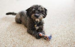 Schäbiger Yorkiechon-Welpe mit Spielzeug zuhause Lizenzfreies Stockfoto