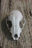 Schädel auf Holz Lizenzfreie Stockbilder