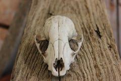 Schädel auf Holz Lizenzfreies Stockfoto