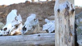 Schädel der Tierlüge auf dem Strahl stock footage