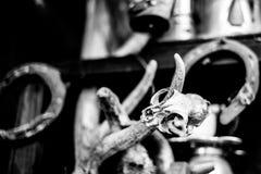 Schädel des kleinen Nagetiers und der Hörner des Säugetieres Stockfotografie