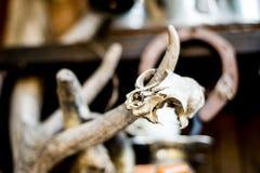 Schädel des kleinen Nagetiers und der Hörner des Säugetieres Lizenzfreie Stockfotografie