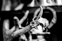 Schädel des kleinen Nagetiers und der Hörner des Säugetieres Lizenzfreies Stockfoto