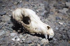 Schädel eines toten Hundes Stockbild