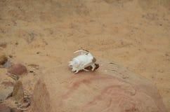 Schädel eines wilden Tieres auf dem Stein Lizenzfreies Stockfoto