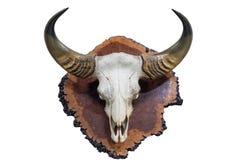 Schädel mit Hornbüffel auf hölzernem Bauholz lizenzfreies stockfoto