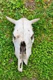 Schädel und Skelett einer Kuh eines Tieres stockbild
