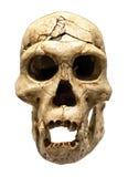 Schädel von Homo erectus stockfoto