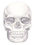 Schädelknochen Stockbilder