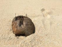 Schädigende Kokosnuss burried im Sand Lizenzfreie Stockfotografie