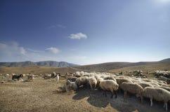 Schäfer-Antriebe auf dem Berg verlegen ein attara von Schafen, das Wüstenberggebiet, Aserbaidschan Lizenzfreie Stockfotografie