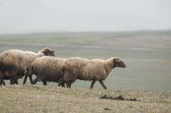 Schäfer-Antriebe auf dem Berg verlegen ein attara von Schafen, das Wüstenberggebiet, Gazakh Aserbaidschan Stockbild