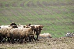 Schäfer-Antriebe auf dem Berg verlegen ein attara von Schafen, das Wüstenberggebiet, Gazakh Aserbaidschan Lizenzfreies Stockbild