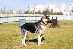 Schäfer Dog draußen Stockbilder