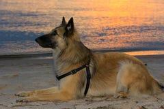 Schäfer Dog liegt auf dem Strand bei Sonnenuntergang Stockbilder