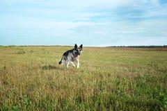 Schäfer Dog Running Lizenzfreie Stockbilder