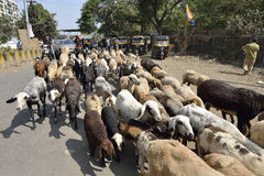 Schäfer mit Herde von Ziegen und von Lämmern Stockfotografie
