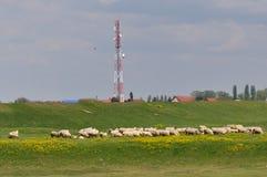 Schäfer mit Schafen auf einer Wiese lizenzfreie stockfotografie