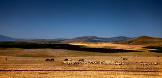 Schäfer und Herde von Schafen Lizenzfreies Stockfoto
