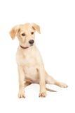 Schäfer und Husky Cross Puppy Stockfotos