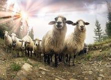 Schäfer und Schafe Karpaten Stockfotos