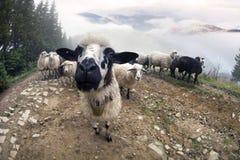 Schäfer und Schafe Karpaten Stockfoto