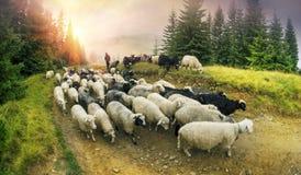 Schäfer und Schafe Karpaten Lizenzfreie Stockfotografie