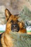 Schäferhund über Pelz-drei Stockfotografie