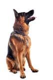 Schäferhund Stockfoto