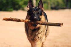 Schäferhund Lizenzfreie Stockbilder