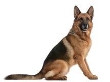 Schäferhund, 5 Jahre alt Stockfoto