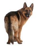Schäferhund, 5 Jahre alt Stockfotografie