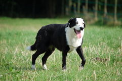 Schäferhund stockfotografie