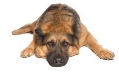 Schäferhund Lizenzfreies Stockfoto