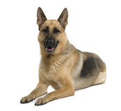 Schäferhund, 9 Jahre alt, sitzend Lizenzfreie Stockfotografie