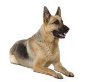 Schäferhund, 9 Jahre alt, sitzend Lizenzfreies Stockbild