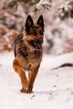 Schäferhund Ambra Stockbild