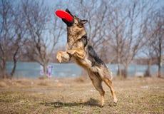 Schäferhund anziehender Frisbee lizenzfreie stockbilder