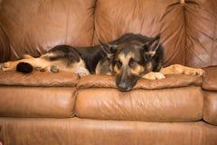 Schäferhund auf Couch Stockfotografie