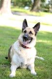 Schäferhund auf dem Gebiet Lizenzfreies Stockfoto