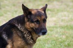 Schäferhund auf einem grünen Gras. Lizenzfreies Stockbild