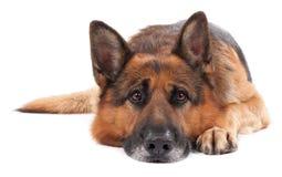 Schäferhund auf einem Weiß Lizenzfreies Stockfoto
