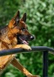Schäferhund auf einer Brücke Lizenzfreie Stockfotos
