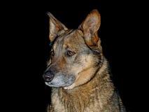 Schäferhund auf Schwarzem Stockbilder