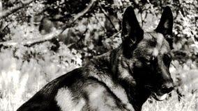 Schäferhund B&W lizenzfreie stockbilder
