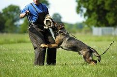 Schäferhund bei der Arbeit Lizenzfreie Stockfotos